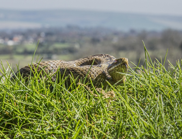 Snake in the Grass (Vipera berus) by teocali
