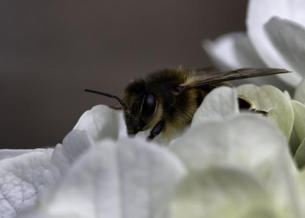 bee in hydrangea by stevegilman