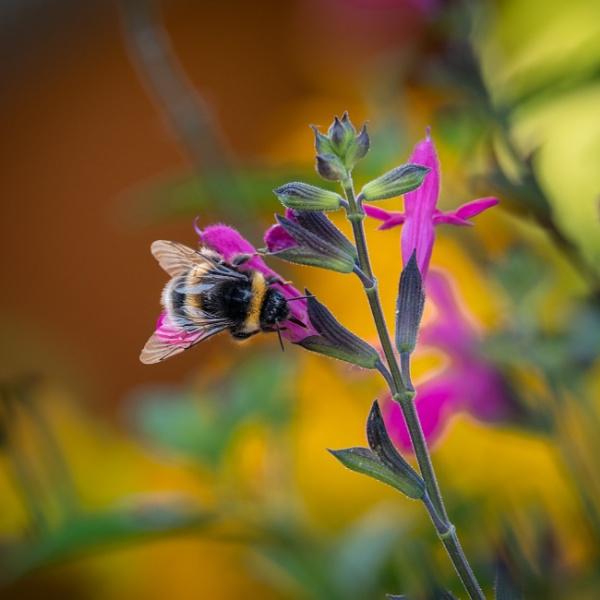 Bee on  Prairie Fire. by Johnpics