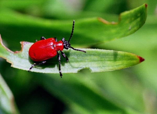 Scarlet Lily Beetle by nclark