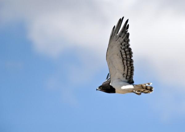 Snake Eagle by DennisT