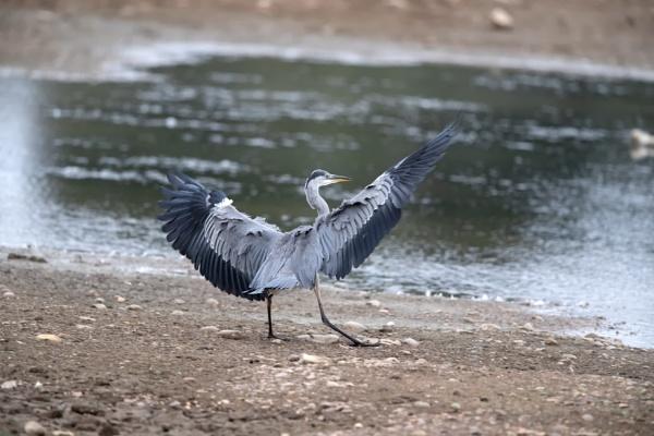 Grey Heron (Ardea cinerea) by Ray_Seagrove