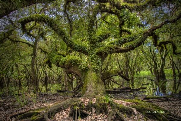 Fern covered oak by jbsaladino
