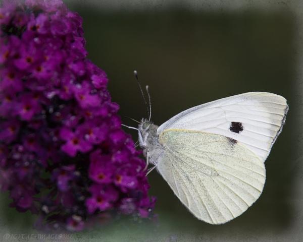 Large White by Alan_Baseley