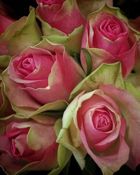 Pink roses a snap shot by StevenBest