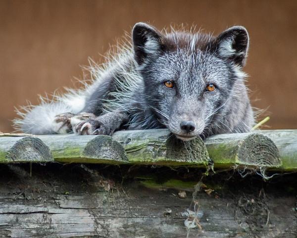 Artic Fox by soulsharer