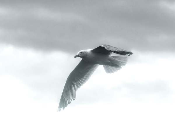 Ring-billed Gull by FrancisChiles