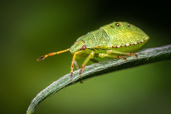 Shield Bug on Leaf by BydoR9