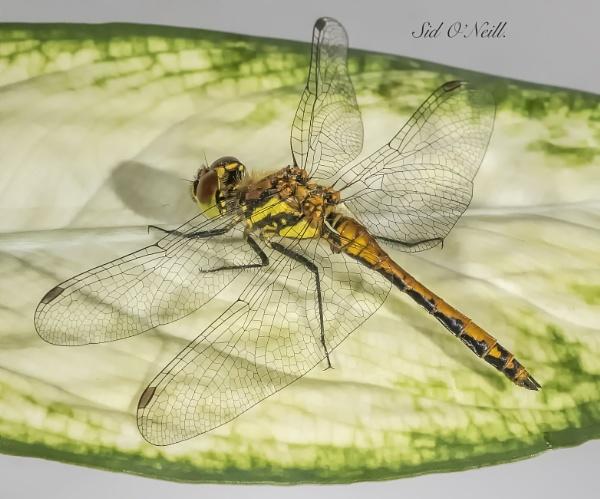 Dragonfly Macro shot. by sidnox