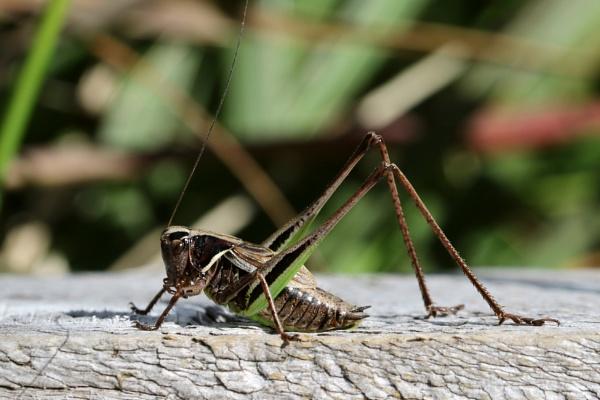 Roesel\'s Bush Cricket by Steveo28