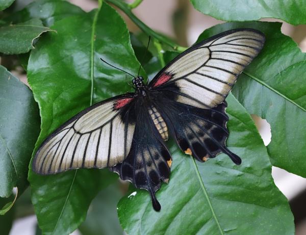 Asian Swallowtail by Steveo28