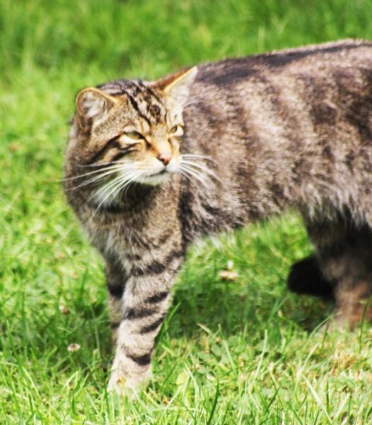 WILD CAT by SOUL7