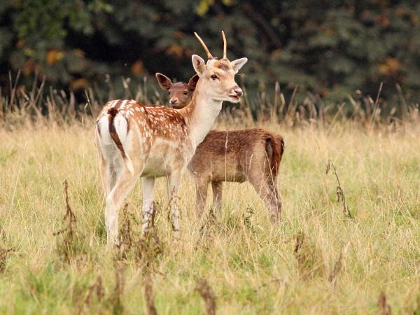 Fallow Deer by bobpaige1