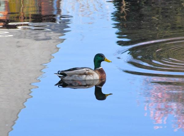 Reflections of a Mallard by cegidfa