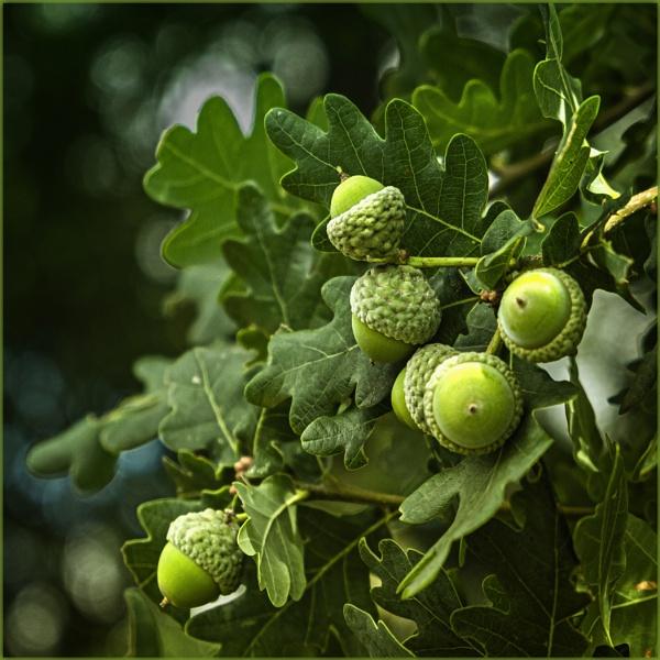 Fruit of the Oak by AlfieK