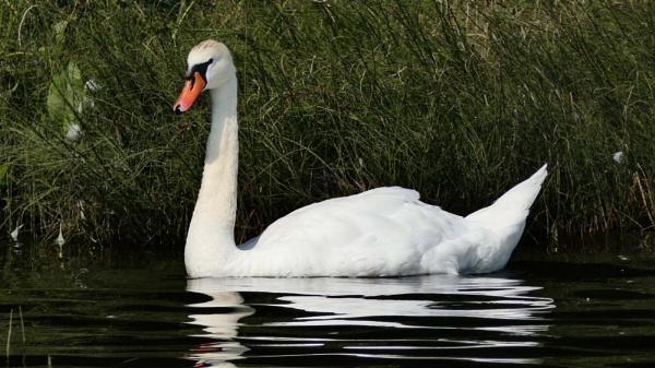 Elegant swan by Clyde54