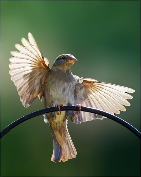 Backlit Sparrow by photographerjoe