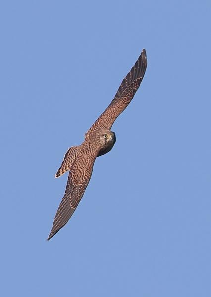 Kestrel in Flight by NeilSchofield
