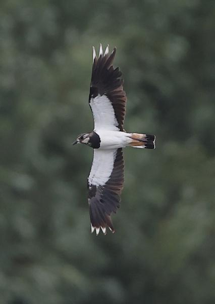 Lapwing in Flight by NeilSchofield