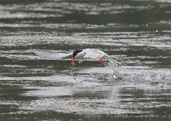 Tern Fishing by NeilSchofield