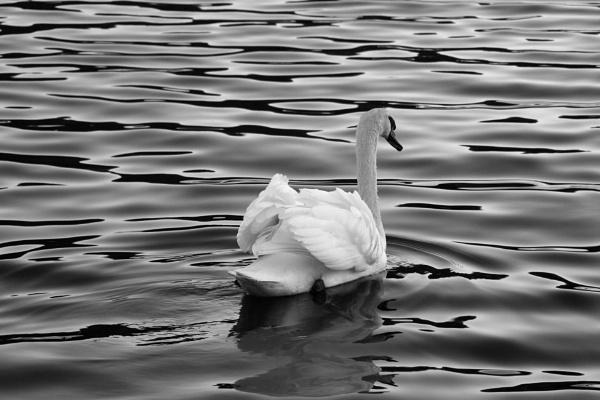 Swan II by azurak