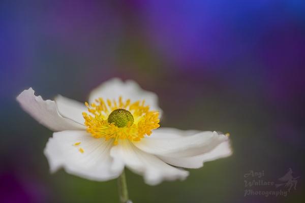 Anemone by Angi_Wallace