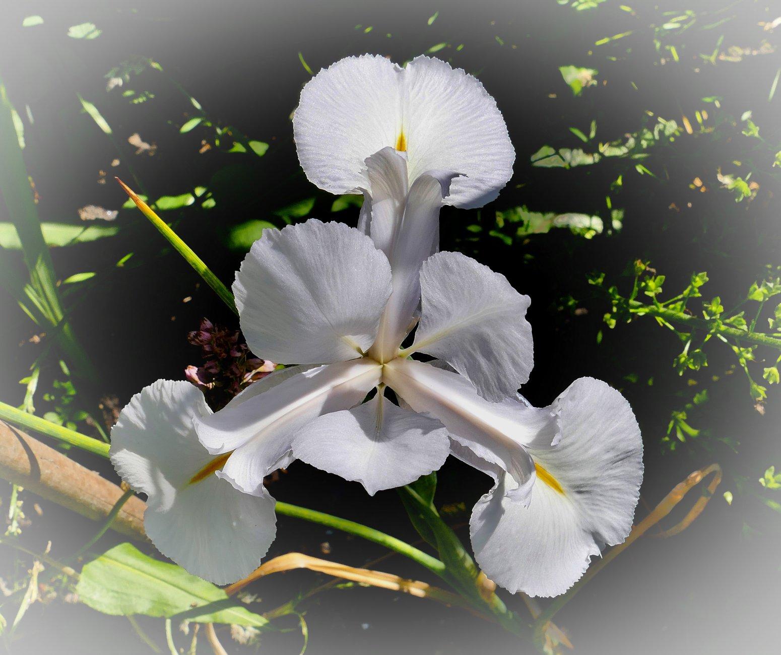 Symmetry - white Iris