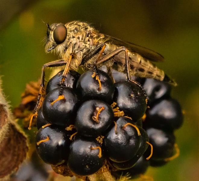 Robber fly on blackberry