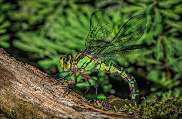 Dragonfly by mjparmy