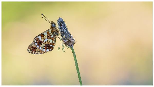 Small Pearl Bordered Fritillary - Boloria selene. by NigelKiteley