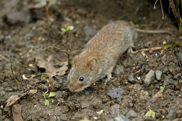 Bank Vole by J_Caswell