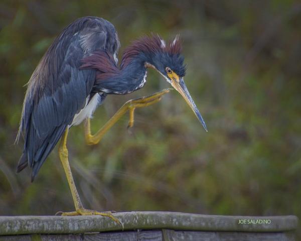 Tri-colored heron by jbsaladino