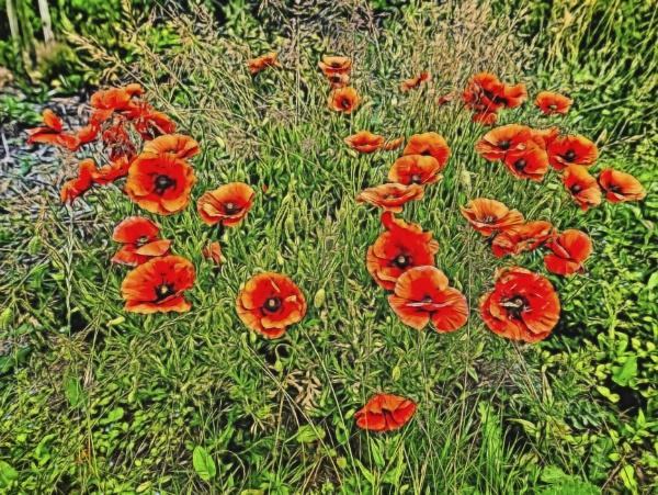 Poppy Fields by RLF