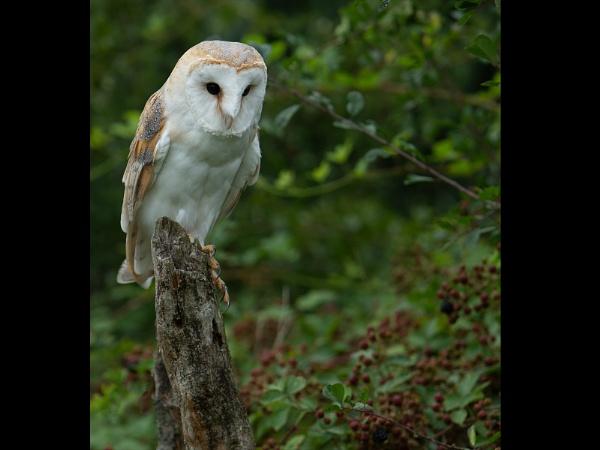 Barn Owl and Blackberries  -  CAPTIVE Owl,  WILD Blackberries by philhomer