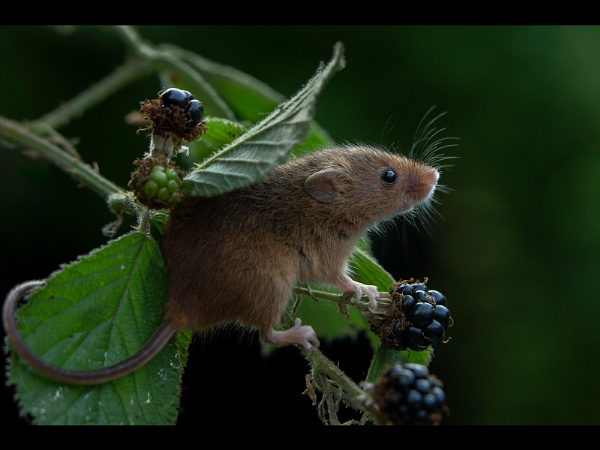 Harvesting Mouse - CAPTIVE subject by philhomer