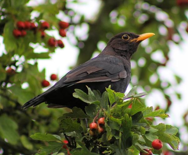 Male Blackbird in a Hawthorne Bush by peterkin