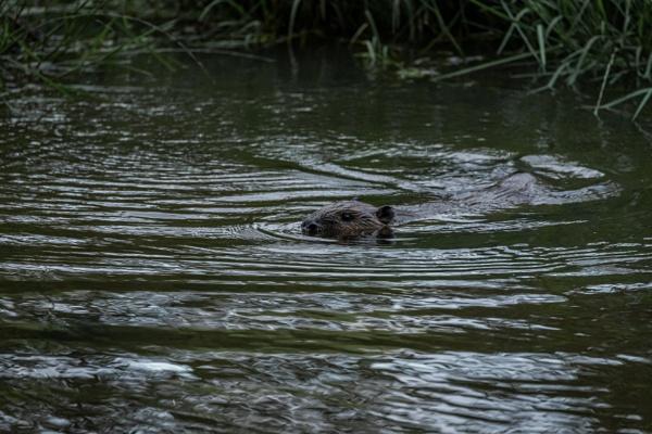 Eurasian Beaver by Arvorphoto