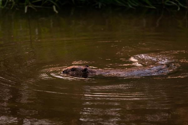 Eurasion beaver - Castor fiber by Arvorphoto