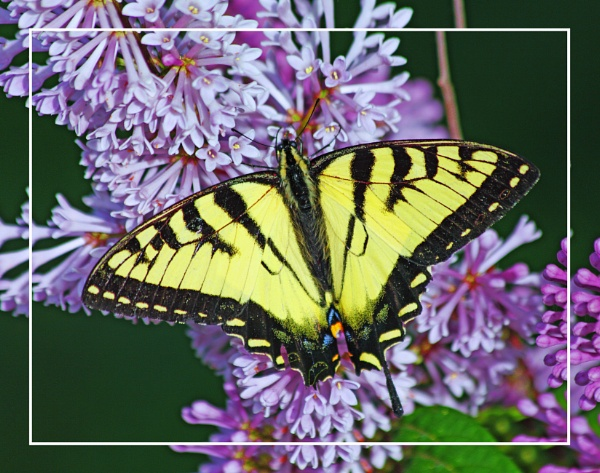 An Eastern Tiger Swallowtail (Papilio glaucus)  (best viewed large) by gconant