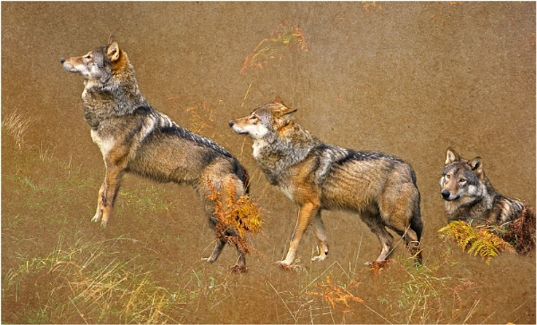Wolves following each other by hibbz