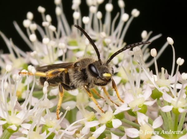 Orange Legged Furrow Bee (Halictus rubicundus) by JonnyNI