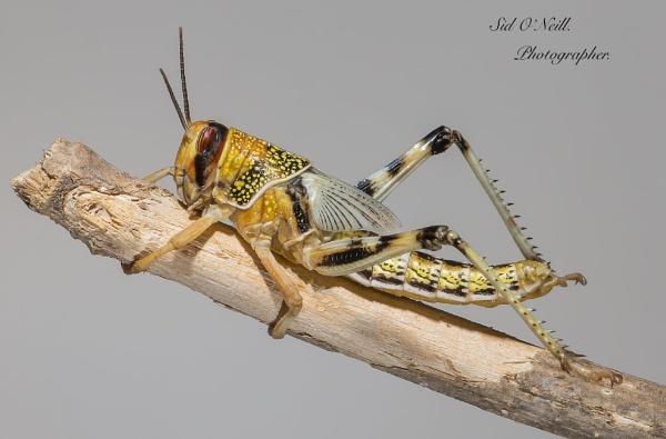 Macro shot Locust. by sidnox