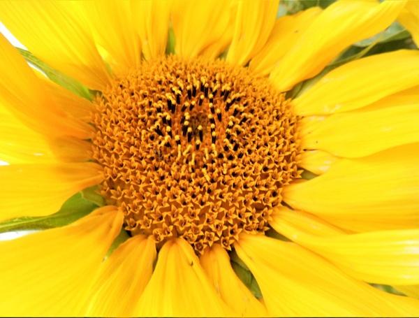 sunflower by jenny007