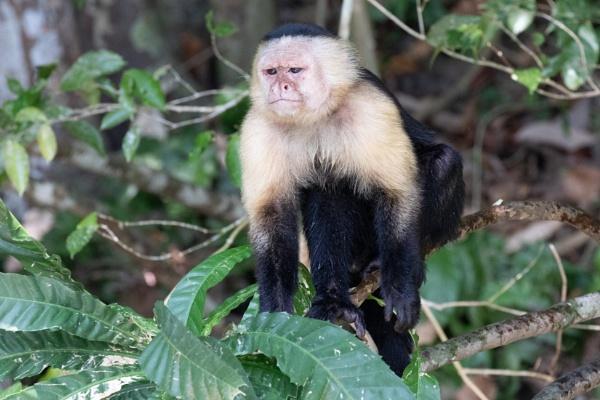 Grumpy Capuchin Monkey by Trekmaster01