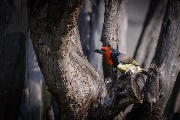 Black Collard Barbet by Coen