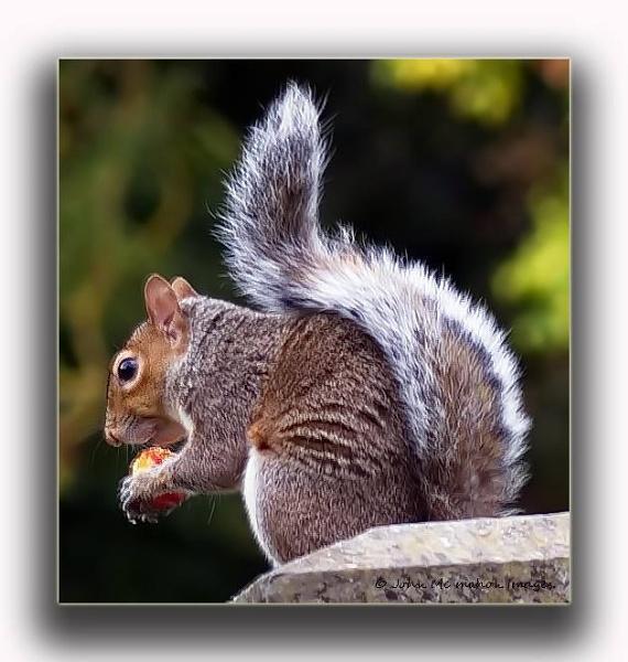 Grey Squirrel. by johnvincint