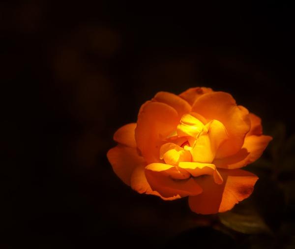 Blooming rose in the garden by rninov