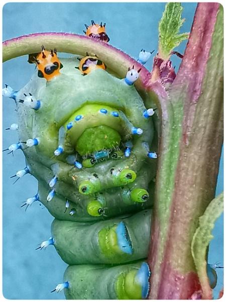 Macro Portrait of the Robin Moth Caterpillar. by Richard_137