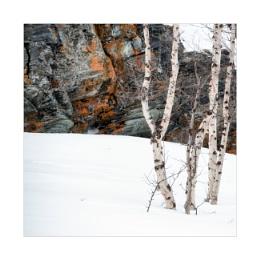Birch and Lichen