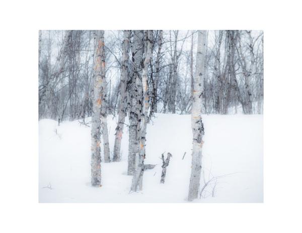 Winter Birch by gerainte1